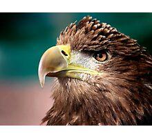 White Tailed Sea Eagle Photographic Print