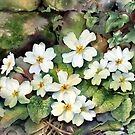 Primroses by a mossy wall by Ann Mortimer