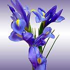 Iris by Lucinda Walter
