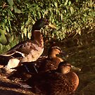 Ducks by Phil Campus
