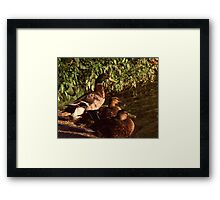Ducks Framed Print