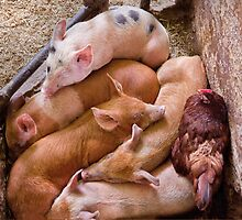 Animal - Pig - Five little piggies and a Chicken  by Mike  Savad