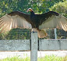Vulture wingspan by Anthony Brewer