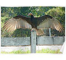 Vulture wingspan Poster