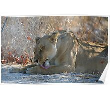 Lioness Grooming Poster