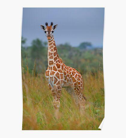 Young Giraffe On Alert Poster