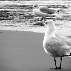 Ring-billed gulls B&amp;W by elasita