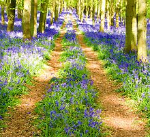 Bluebell tracks in May by Steve Burke