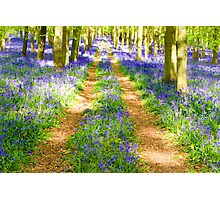Bluebell tracks in May Photographic Print