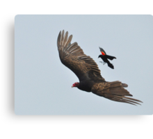 Blackbird Attack! Canvas Print