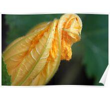 Squash Blossom - our backyard garden Poster