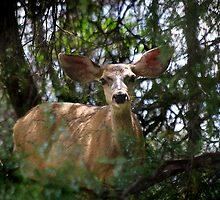 Watching You ~ New Mexico Mule Deer by Vicki Pelham