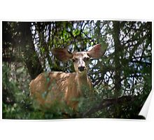 Watching You ~ New Mexico Mule Deer Poster