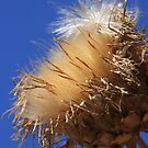 Fluffy Thistle! by Heather Friedman