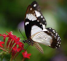 Mocker Swallowtail by Declan Carr