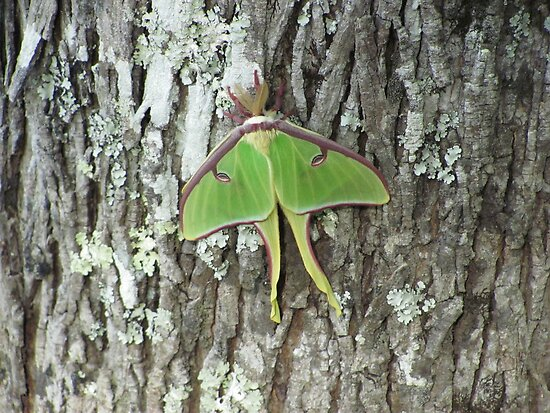 Luna Moth by Nickie Harris