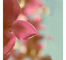 Magnolia Magnificence Photographic Print