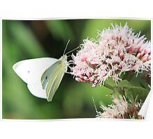Small White (Pieris rapae)  Poster