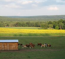 Sunflowers - Amherst, Massachusetts by Irene Garjian