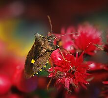 Pentatoma Rufipes (Forest Bug) by Yhun Suarez