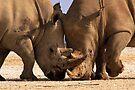 White Rhino at loggerheads. Nakuru National Park, Kenya. Africa. by photosecosse /barbara jones