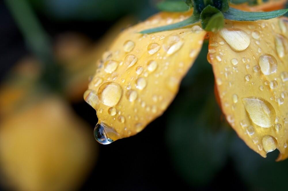 Raindrops on orange pansies by Morag Anderson