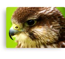 Hobby  (Falco Subbuteo) - Bird of Prey Canvas Print