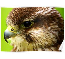 Hobby  (Falco Subbuteo) - Bird of Prey Poster