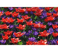 Red and purple Photographic Print