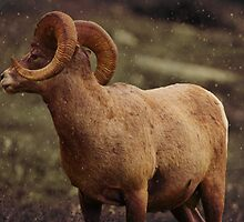 Bighorn Sheep I by Miles Glynn