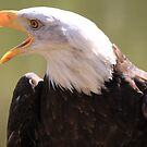 Bald Eagle Call  by DutchLumix