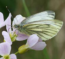 Green Veined White Butterfly by John Keates