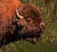 BULL BISON by Sandy Stewart