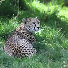 Cheetah  by Alan McNeice