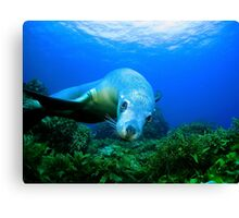 Playful Sealion Canvas Print