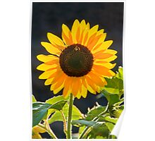 Best of the summer sunflowers Poster