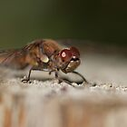 Common Darter by Jon Lees