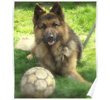 german shepherd dog.. Poster
