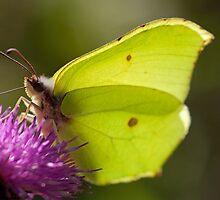 Brimstone Butterfly by Jon Lees