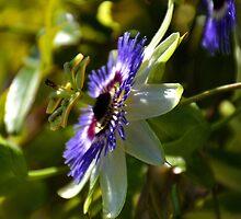 Passaflora- Passion Flower... by lynn carter