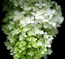 white hydrangea by Leeanne Middleton