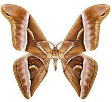 Butterfly moth species Samia kohlii by paulrommer