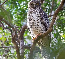Powerful Owl by Teale Britstra