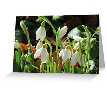 Snowdrops bloom Greeting Card