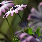 daisy by gary roberts