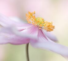 Softly pink by Mandy Disher