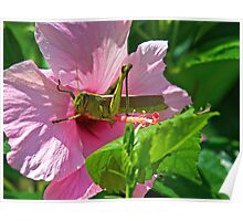 Grasshopper Eating Flower Poster