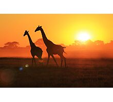 Giraffe - Sunset Gold and Harmony - African Wildlife Photographic Print