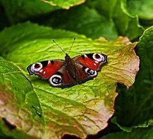 Butterfly at Brodsworth by Ryan Davison Crisp