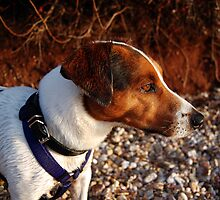 Jack Russel by fisherman84